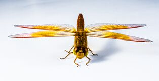 Close Up Image of Red Yellow Black and Brown Dragonfly Royalty Free Stock Photography