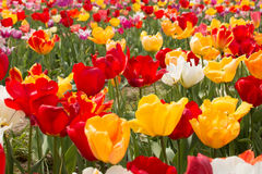 A close-up image of red and yellow tulips Stock Photo
