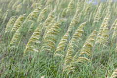Close-up image of reed Royalty Free Stock Photography