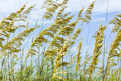 Close-up image of reed Royalty Free Stock Photo