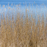 Close-up image of reed Royalty Free Stock Photos