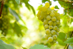 Close-up Image of Ripe Bunche of White Grapes on Vine Stock Photos