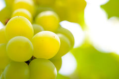 Close-up Image of Ripe Bunche of White Grapes on Vine Royalty Free Stock Photos