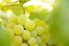 Close-up Image of Ripe Bunche of White Grapes on Vine Stock Images