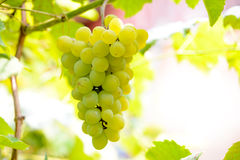 Close-up Image of Ripe Bunche of White Grapes on Vine Royalty Free Stock Photo