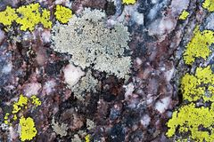 Close up of a rock and lichen. Close up image of a rock with colorful lichens royalty free stock photo