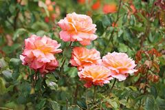Bush of roses Stock Photography