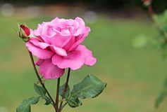 Pink rose with bud Stock Photo