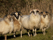 Close up image of a sheep Royalty Free Stock Image