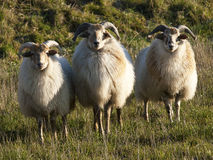 Close up image of a sheep Stock Image