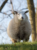 Close up image sheep Stock Image