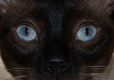 Close-up image of a Siamese cat`s striking blue eyes stock image
