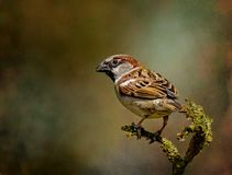 Adult male House Sparrow perched on a branch. Royalty Free Stock Photos
