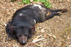 Close up image of a sleeping Tasmanian Devil. Sarcophilus harrisii with copy space stock photography