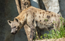 Close-up image of a Spotted Hyena standing. In open zoo Royalty Free Stock Images