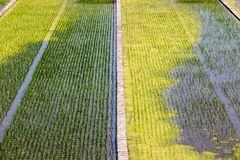 Close up image of straight rows of green rice asian fields. Natural background