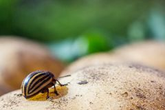 A close up image of the striped Colorado potato beetle that crawls on potatoes and green leaves and eats them stock photography