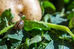 A close up image of the striped Colorado potato beetle that crawls on potatoes and green leaves and eats them royalty free stock images