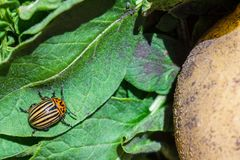 A close up image of the striped Colorado potato beetle that crawls on potatoes and green leaves and eats them stock images