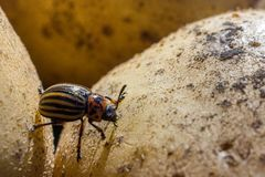 A close up image of the striped Colorado potato beetle that crawls on potatoes and green leaves and eats them stock photo