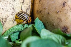A close up image of the striped Colorado potato beetle that crawls on potatoes and green leaves and eats them. A close up image of the Colorado potato beetle stock photography