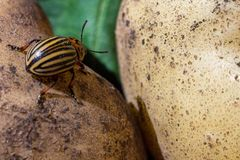 A close up image of the striped Colorado potato beetle that crawls on potatoes and green leaves and eats them. A close up image of the Colorado potato beetle stock images