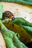 A close up image of the striped Colorado potato beetle that crawls on potatoes and green leaves and eats them royalty free stock photography
