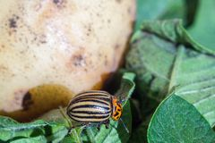 A close up image of the striped Colorado potato beetle that crawls on potatoes and green leaves and eats them. A close up image of the Colorado potato beetle royalty free stock photography