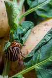 A close up image of the striped Colorado potato beetle that crawls on potatoes and green leaves and eats them. A close up image of the Colorado potato beetle stock image