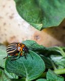 A close up image of the striped Colorado potato beetle that crawls on potatoes and green leaves and eats them stock photos