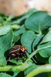 A close up image of the striped Colorado potato beetle that crawls on potatoes and green leaves and eats them royalty free stock photos