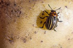 A close up image of the striped Colorado potato beetle that crawls on potatoes and green leaves and eats them royalty free stock photo