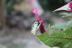 Close-up image of stripped Pioneer White or Indian Caper White butterfly resting on pink colour woolflowers or cockscomb flower stock photo