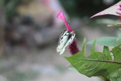 Close-up image of stripped Pioneer White or Indian Caper White butterfly resting on pink colour woolflowers or cockscomb flower stock images