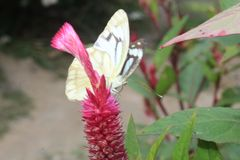 Close-up image of stripped Pioneer White or Indian Caper White butterfly resting on pink colour woolflowers or cockscomb flower royalty free stock image