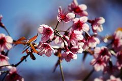 Close up image of thai sakura bouquets flowers and blue sky background stock photography