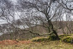 Mossy trees. A close up image of a thickly wooded bank on the Ardnamurchan peninsula in Lochaber, Scotland. 24 December 2017 Royalty Free Stock Images