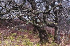 Tangled Woodland. A close up image of a thickly wooded bank on the Ardnamurchan peninsula in Lochaber, Scotland. 24 December 2017 Stock Images