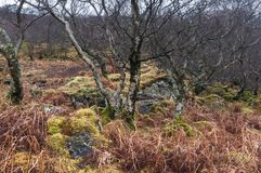 Tangled Woodland. A close up image of a thickly wooded bank on the Ardnamurchan peninsula in Lochaber, Scotland. 24 December 2017 Stock Photos