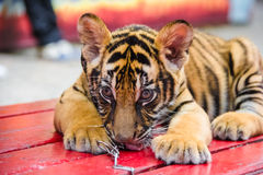 Close up image of Tiger cubs Royalty Free Stock Photography