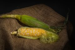 Mais on Burlap - Corn on the Cob - Closed and Open. A close-up image of two corn cobs with some of the cover sheets removes showing the kernels, presented on Royalty Free Stock Image