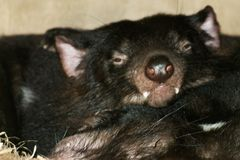 Close up image of two Tasmanian Devils sleeping. Close up image of two Tasmanian Devils Sarcophilus harrisii sleeping in their den royalty free stock photos