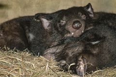 Close up image of two Tasmanian Devils sleeping. Close up image of two Tasmanian Devils Sarcophilus harrisii sleeping in their den stock photo