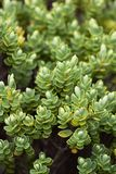 Veronica Topiaria. Close up image of Veronica Topiaria Leaves, a native New Zealand Hebe royalty free stock photography