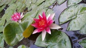 Rose Lotus flowers in garden lake. Close up image of wet Rose Lotus flowers and leaves in garden lake royalty free stock images