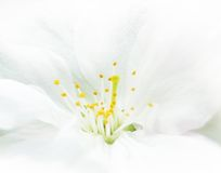 Close Up Image of White Cherry Flower Royalty Free Stock Photography