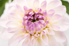 Close up image of white chrysanthemum Royalty Free Stock Photos