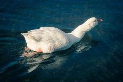 A White Goose swimming on a lake. Close up image of a White Goose swimming on a lake royalty free stock images