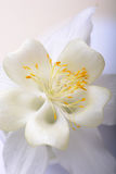 Close up image of white tulip on black Royalty Free Stock Photo