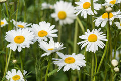 Close up image of wild daisy flowers in wildflower meadow landsc Royalty Free Stock Photography